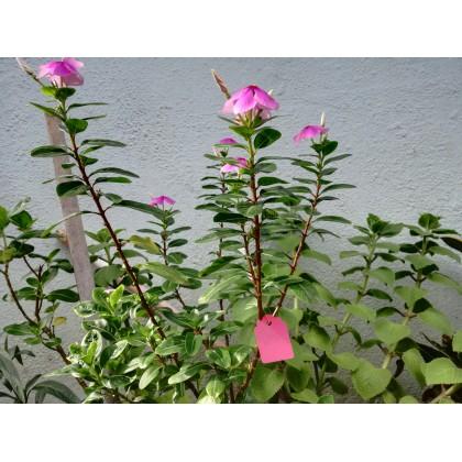 Flower & Plant Label Tag (Pink Color) (5 Pieces/Pack)